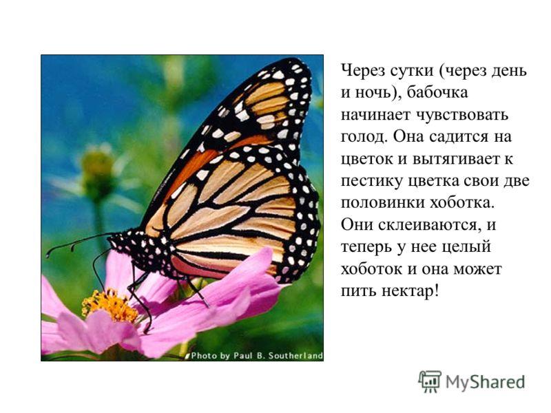 Через сутки (через день и ночь), бабочка начинает чувствовать голод. Она садится на цветок и вытягивает к пестику цветка свои две половинки хоботка. Они склеиваются, и теперь у нее целый хоботок и она может пить нектар!