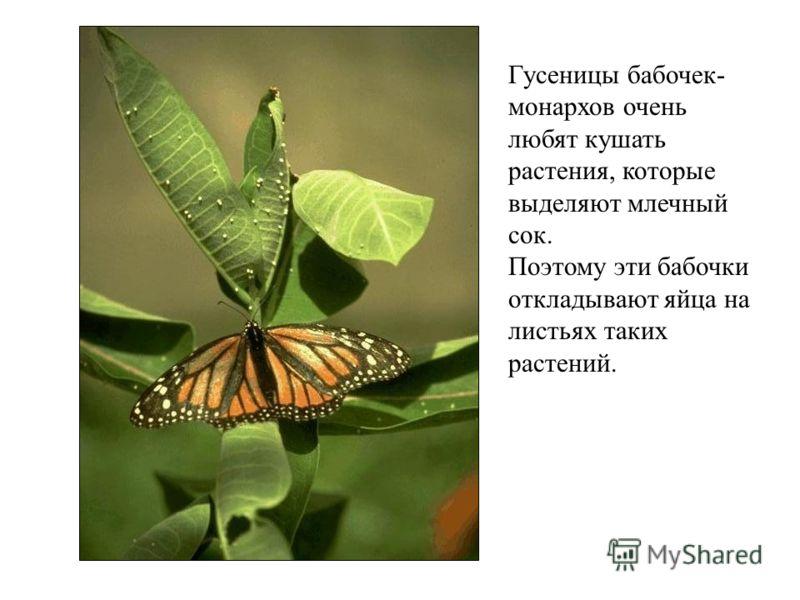 Гусеницы бабочек- монархов очень любят кушать растения, которые выделяют млечный сок. Поэтому эти бабочки откладывают яйца на листьях таких растений.