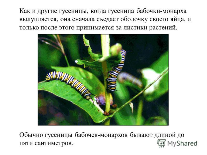 Как и другие гусеницы, когда гусеница бабочки-монарха вылупляется, она сначала съедает оболочку своего яйца, и только после этого принимается за листики растений. Обычно гусеницы бабочек-монархов бывают длиной до пяти сантиметров.