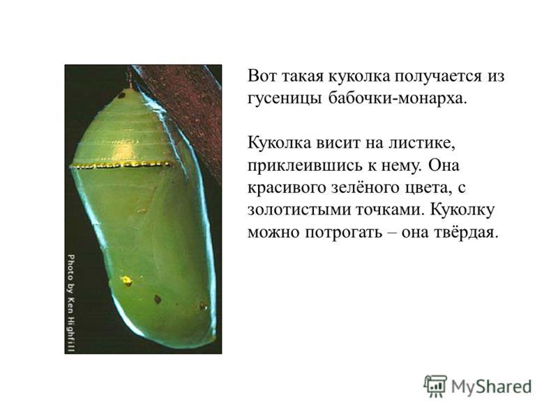 Вот такая куколка получается из гусеницы бабочки-монарха. Куколка висит на листике, приклеившись к нему. Она красивого зелёного цвета, с золотистыми точками. Куколку можно потрогать – она твёрдая.
