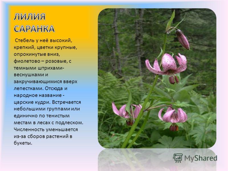 Стебель у неё высокий, крепкий, цветки крупные, опрокинутые вниз, фиолетово – розовые, с темными штрихами- веснушками и закручивающимися вверх лепестками. Отсюда и народное название - царские кудри. Встречается небольшими группами или единично по тен