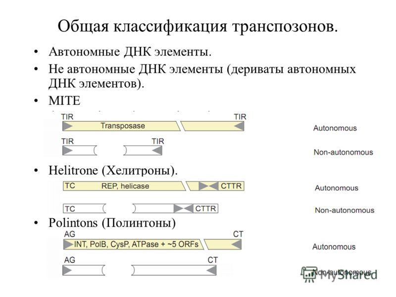 Общая классификация транспозонов. Автономные ДНК элементы. Не автономные ДНК элементы (дериваты автономных ДНК элементов). MITE Helitrone (Хелитроны). Polintons (Полинтоны)