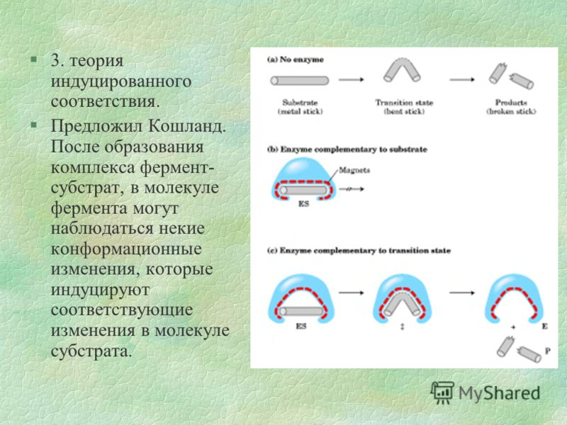 §3. теория индуцированного соответствия. §Предложил Кошланд. После образования комплекса фермент- субстрат, в молекуле фермента могут наблюдаться некие конформационные изменения, которые индуцируют соответствующие изменения в молекуле субстрата.