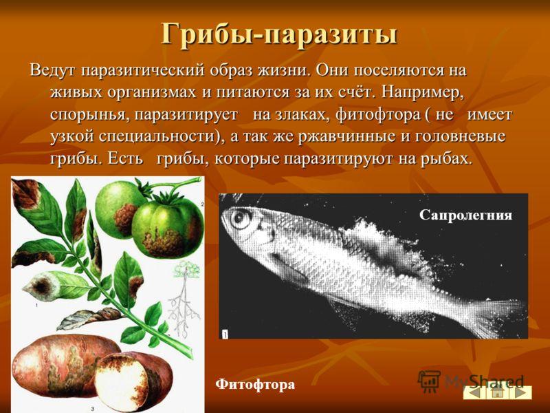 Симбиоз, паразитизм, хищничество, патогенность грибов - следствие их экологической пластичности. По способу питания все грибы делятся на сапрофитов, паразитов и грибы- симбиоты. Грибы-сапрофиты питаются мёртвыми органическими веществами. Они играют в