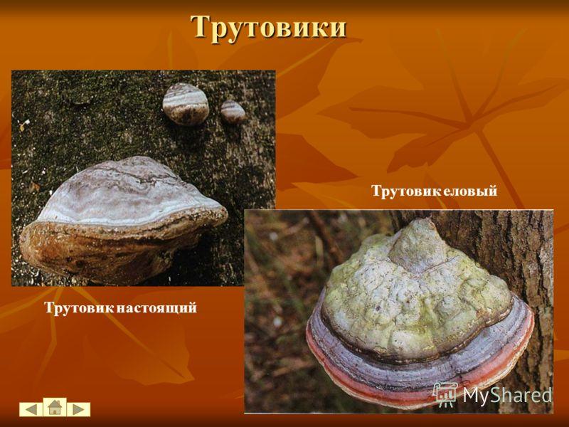 Грибы-паразиты Большой вред грибы-паразиты наносят Большой вред грибы-паразиты наносят лесному хозяйству. Чаще всего плодовые тела трутовиков образуются на поверхности дерева через несколько лет после заражения и располагаются на стволе друг над друг