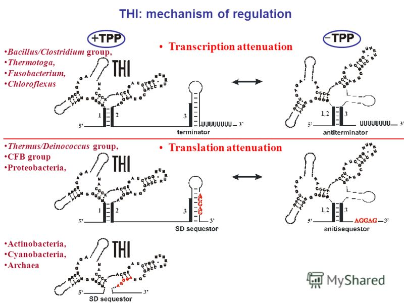 THI: mechanism of regulation Thermus/Deinococcus group, CFB group Proteobacteria, Translation attenuation Actinobacteria, Cyanobacteria, Archaea Bacillus/Clostridium group, Thermotoga, Fusobacterium, Chloroflexus Transcription attenuation