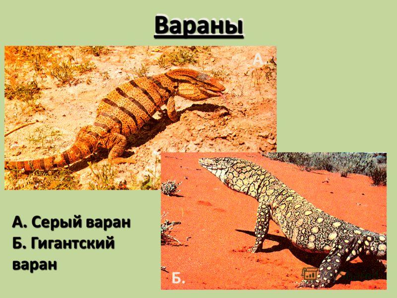ВараныВараны А. Серый варан Б. Гигантский варан А. Б.