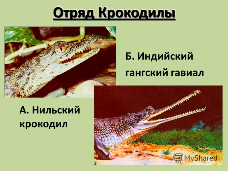 Отряд Крокодилы А. Нильский крокодил Б. Индийский гангский гавиал А. Б.