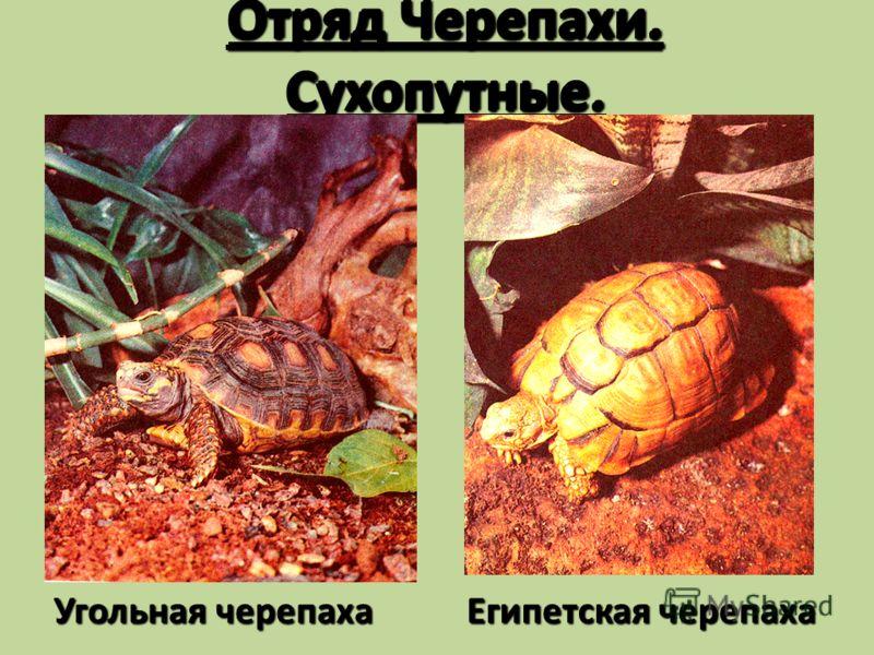 Отряд Черепахи. Сухопутные. Угольная черепаха Египетская черепаха
