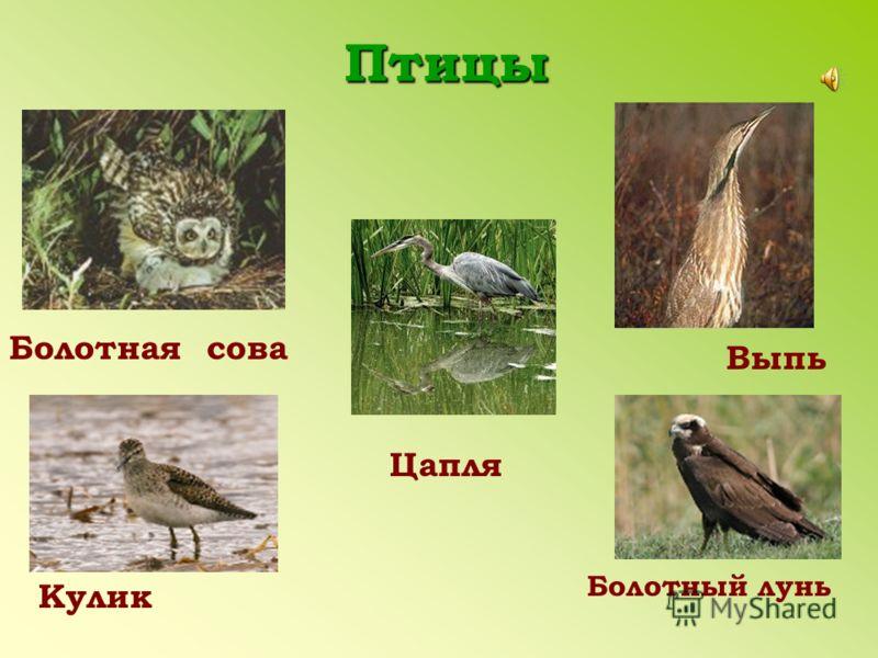 Птицы Цапля Болотная сова Кулик Выпь Болотный лунь