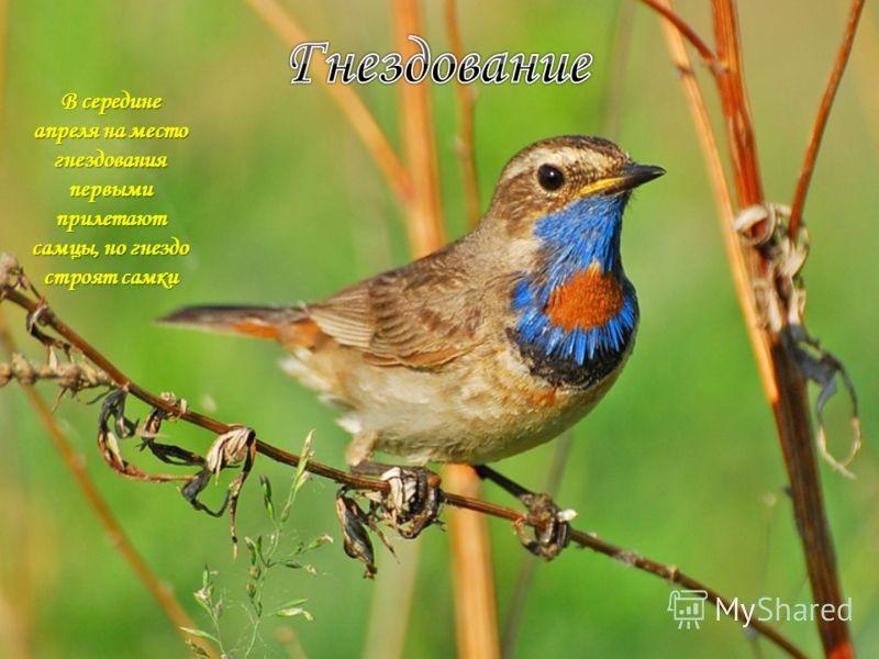В середине апреля на место гнездования первыми прилетают самцы, но гнездо строят самки