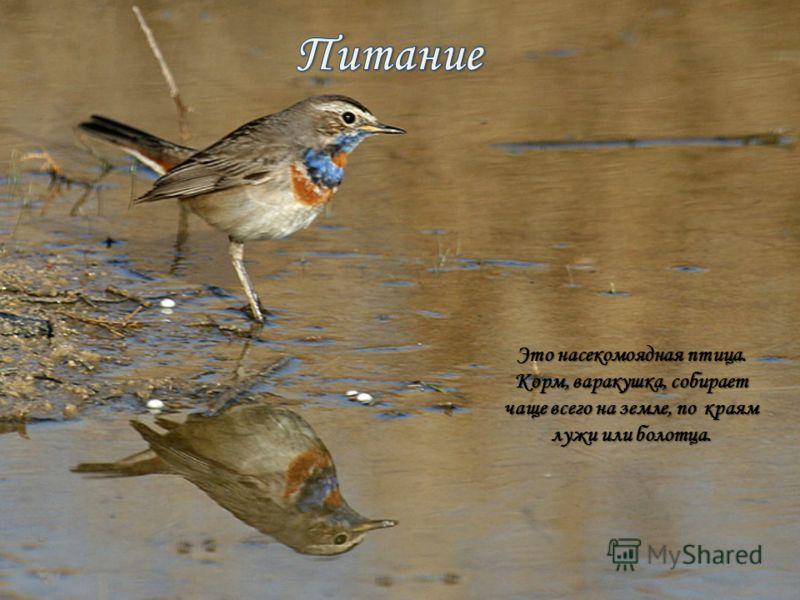 Это насекомоядная птица. Корм, варакушка, собирает чаще всего на земле, по краям лужи или болотца.
