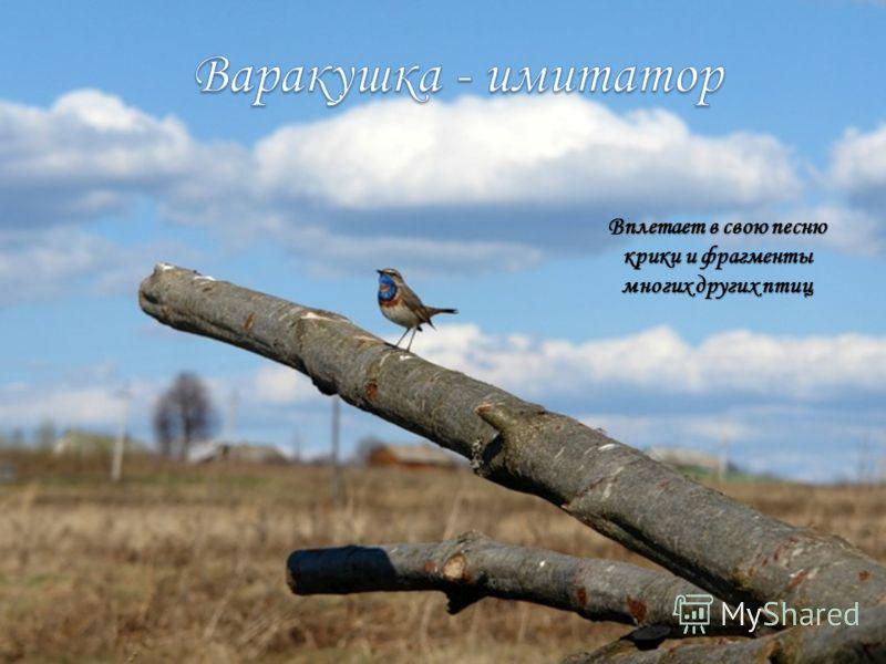 Вплетает в свою песню крики и фрагменты многих других птиц