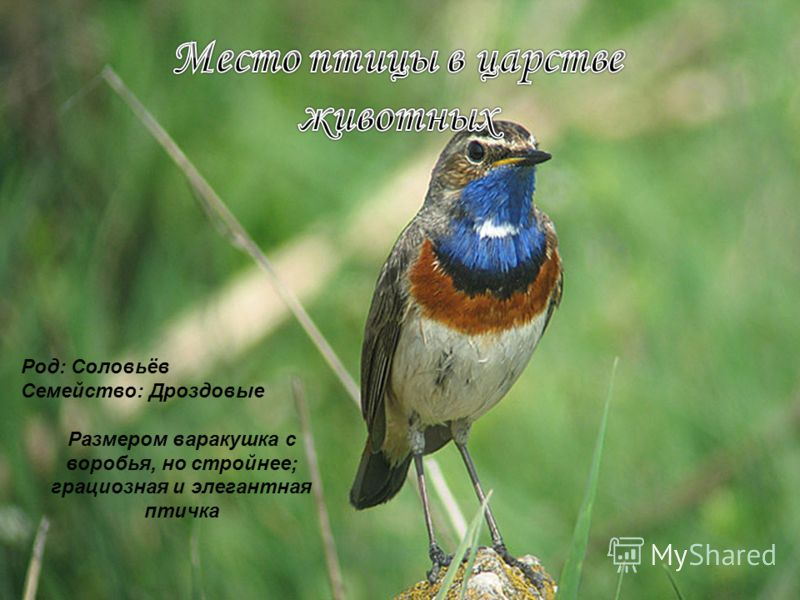 Род: Соловьёв Семейство: Дроздовые Размером варакушка с воробья, но стройнее; грациозная и элегантная птичка