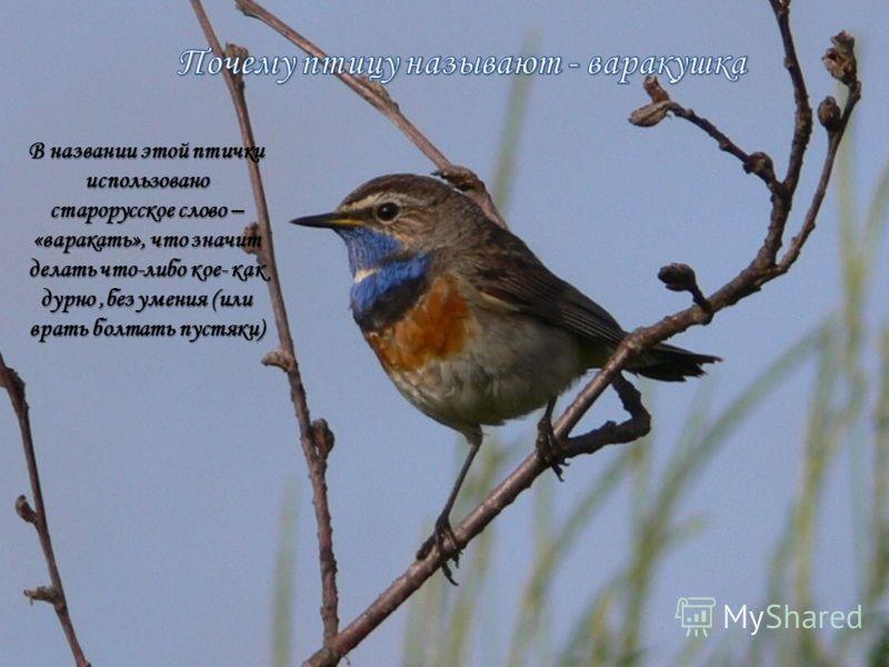 В названии этой птички использовано старорусское слово – «варакать», что значит делать что-либо кое- как дурно,без умения (или врать болтать пустяки)