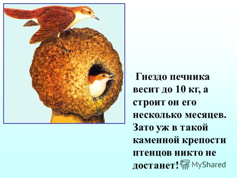 Эму - второй после страуса по величине (до 1,8 м высотой, массой 45 – 54 кг). Известно, что насиживание кладки из 8–12 яиц и выхаживание птенцов природа возложила на эму – самца. Но многие ли знают, что в течение 8 недель насиживания этот удивительны