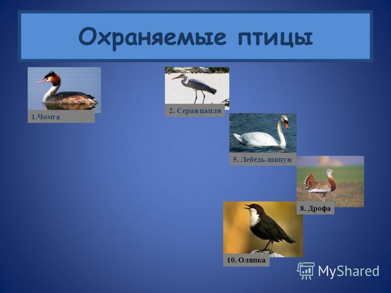 Охраняемые птицы 5. Лебедь-шипун 1.Чомга 2. Серая цапля 3. Горихвостка 4. Малиновка 6. Удод 7. Зяблик 8. Дрофа 9. Иволга 10. Оляпка