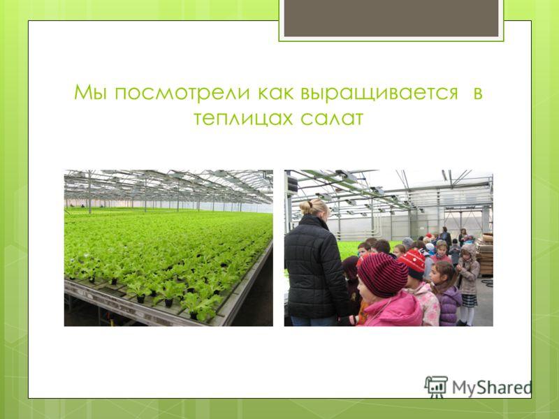 Мы посмотрели как выращивается в теплицах салат