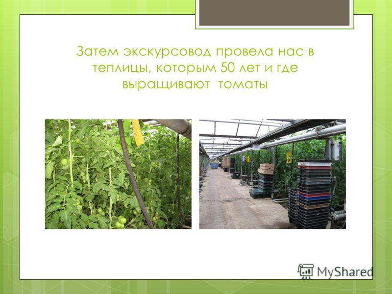 Затем экскурсовод провела нас в теплицы, которым 50 лет и где выращивают томаты