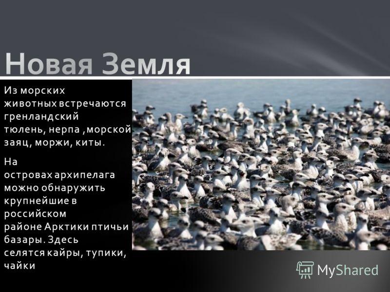 Из морских животных встречаются гренландский тюлень, нерпа,морской заяц, моржи, киты. На островах архипелага можно обнаружить крупнейшие в российском районе Арктики птичьи базары. Здесь селятся кайры, тупики, чайки