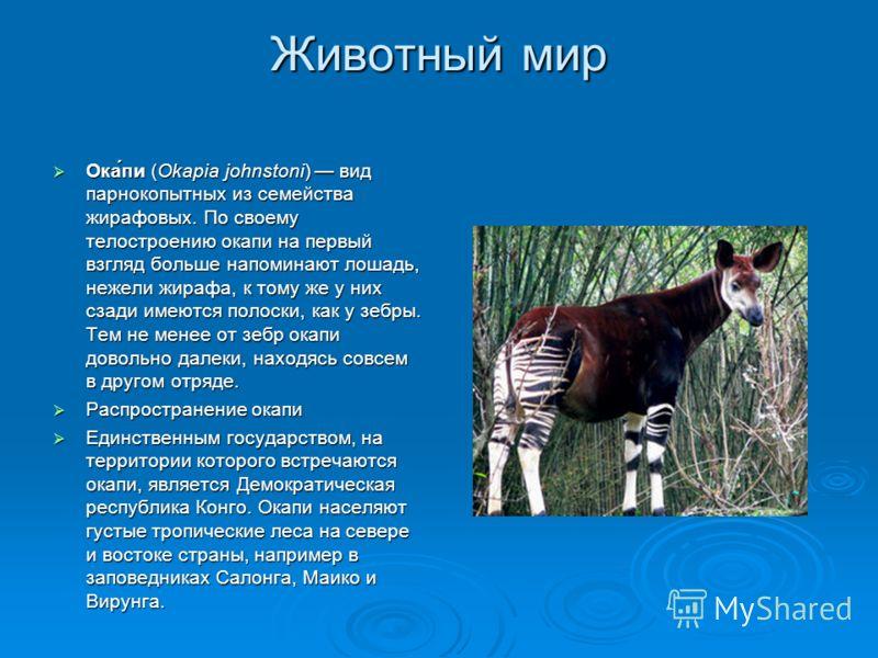 Животный мир Ока́пи (Okapia johnstoni) вид парнокопытных из семейства жирафовых. По своему телостроению окапи на первый взгляд больше напоминают лошадь, нежели жирафа, к тому же у них сзади имеются полоски, как у зебры. Тем не менее от зебр окапи дов