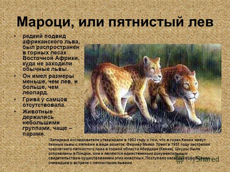 Мароци, или пятнистый лев редкий подвид африканского льва, был распространен в горных лесах Восточной Африки, куда не заходили обычные львы. Он имел размеры меньше, чем лев, и больше, чем леопард. Грива у самцов отсутствовала. Животные держались небо