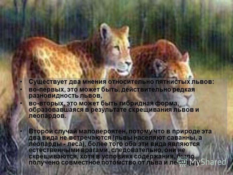 Существует два мнения относительно пятнистых львов: во-первых, это может быть, действительно редкая разновидность львов, во-вторых, это может быть гибридная форма, образовавшаяся в результате скрещивания львов и леопардов. Второй случай маловероятен,