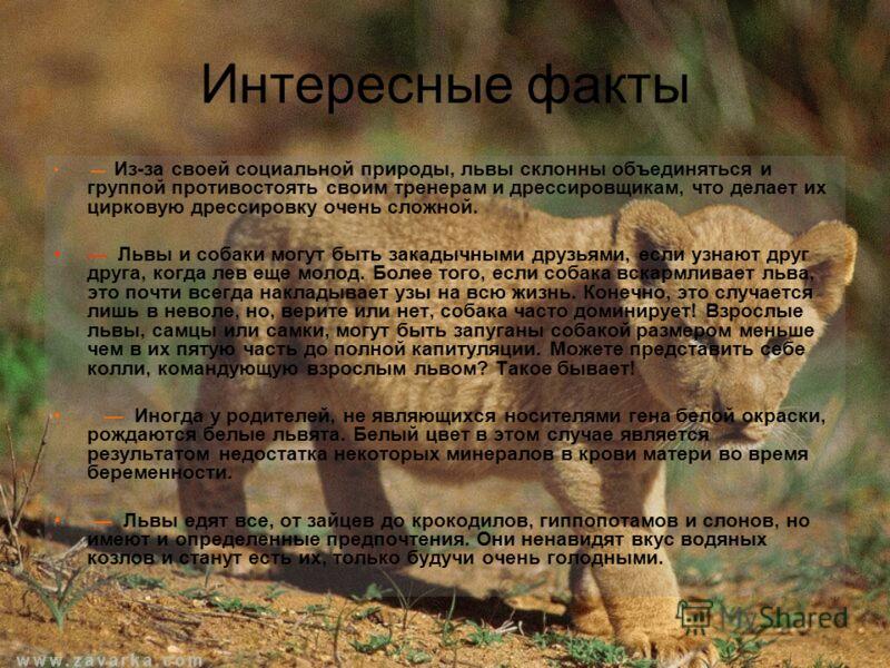 Интересные факты Из-за своей социальной природы, львы склонны объединяться и группой противостоять своим тренерам и дрессировщикам, что делает их цирковую дрессировку очень сложной. Львы и собаки могут быть закадычными друзьями, если узнают друг друг
