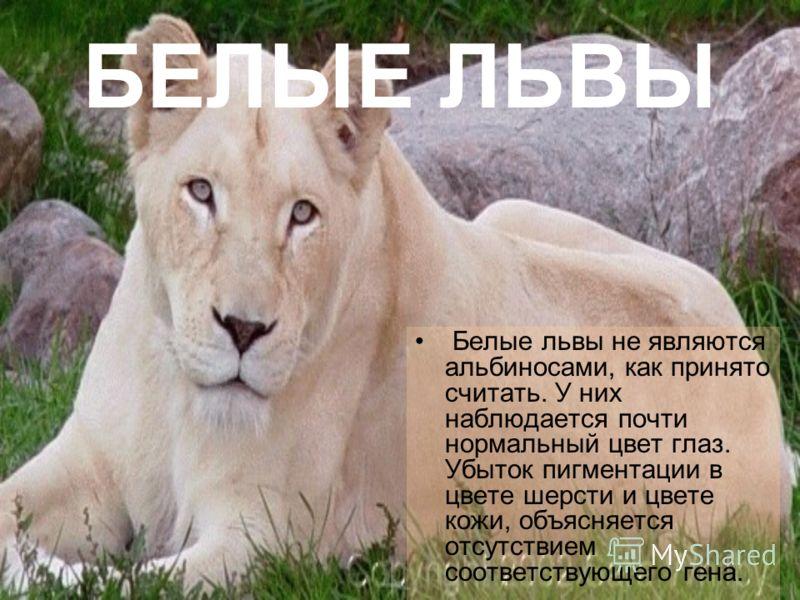 альбиносы львы фото