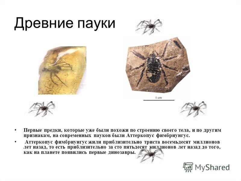 Древние пауки Первые предки, которые уже были похожи по строению своего тела, и по другим признакам, на современных пауков были Аттеркопус фимбриунгус. Аттеркопус фимбриунгус жили приблизительно триста восемьдесят миллионов лет назад, то есть приблиз