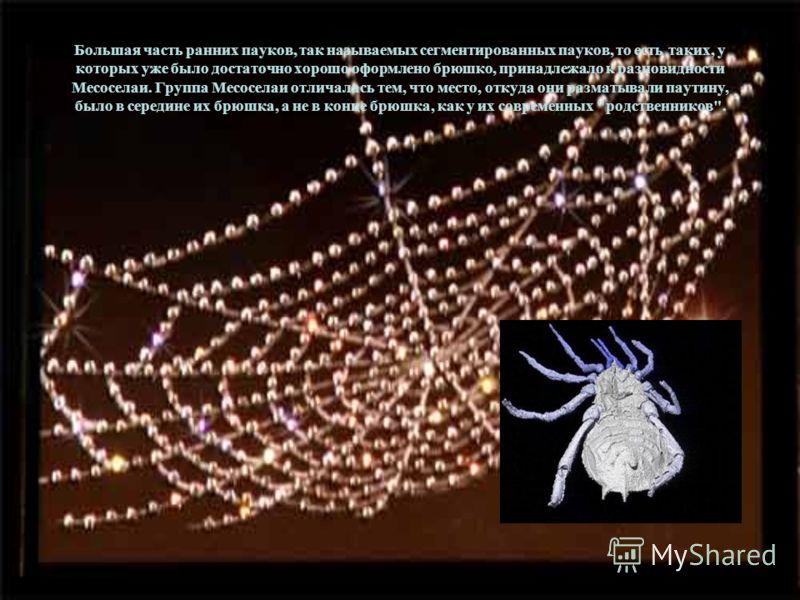 Большая часть ранних пауков, так называемых сегментированных пауков, то есть таких, у которых уже было достаточно хорошо оформлено брюшко, принадлежало к разновидности Месоселаи. Группа Месоселаи отличалась тем, что место, откуда они разматывали паут