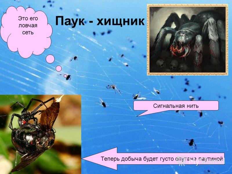 Паук - хищник Это его ловчая сеть Сигнальная нить Теперь добыча будет густо опутана паутиной