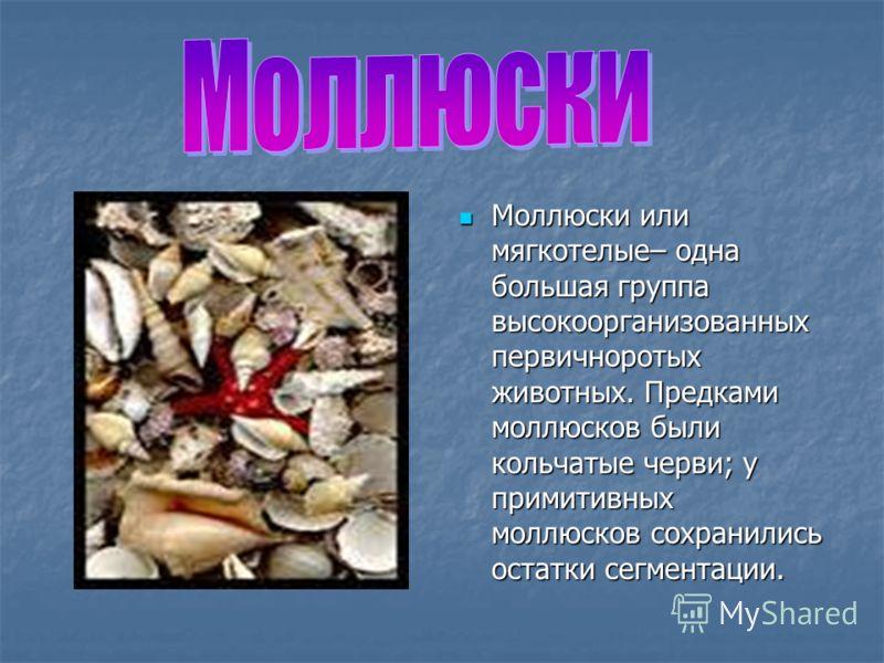 Моллюски или мягкотелые– одна большая группа высокоорганизованных первичноротых животных. Предками моллюсков были кольчатые черви; у примитивных моллюсков сохранились остатки сегментации. Моллюски или мягкотелые– одна большая группа высокоорганизован