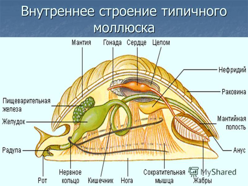 Внутреннее строение типичного моллюска