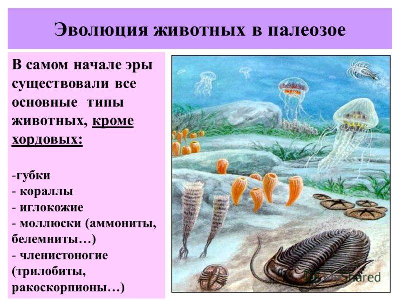 Эволюция животных в палеозое В самом начале эры существовали все основные типы животных, кроме хордовых: -губки - кораллы - иглокожие - моллюски (аммониты, белемниты…) - членистоногие (трилобиты, ракоскорпионы…)