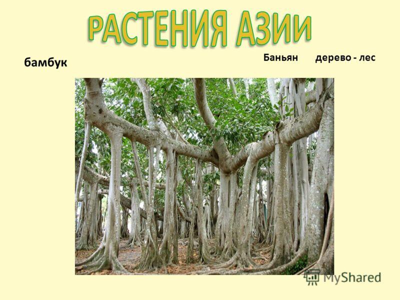 бамбук Баньян дерево - лес