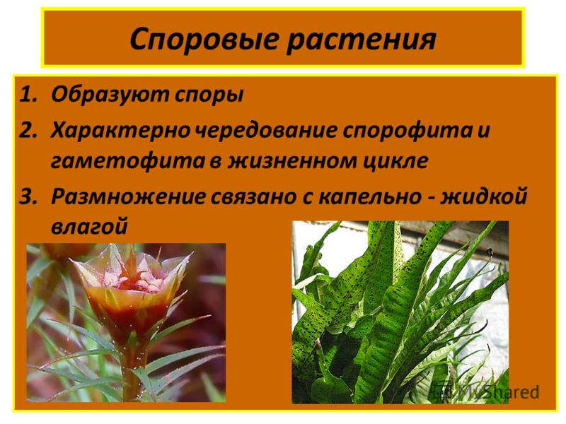 Споровые растения 1.Образуют споры 2.Характерно чередование спорофита и гаметофита в жизненном цикле 3.Размножение связано с капельно - жидкой влагой