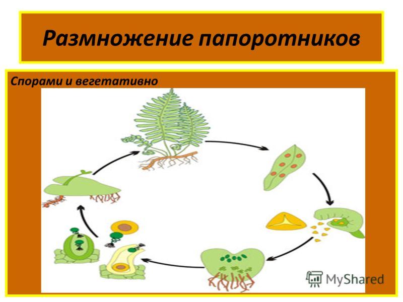 Размножение папоротников Спорами и вегетативно
