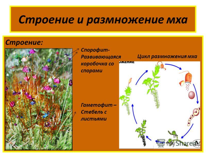 Строение и размножение мха Строение: Спорофит- Развивающаяся коробочка со спорами Гаметофит – Стебель с листьями Цикл размножения мха