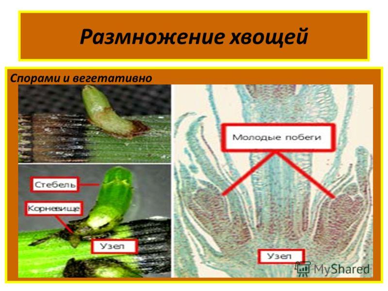 Размножение хвощей Спорами и вегетативно