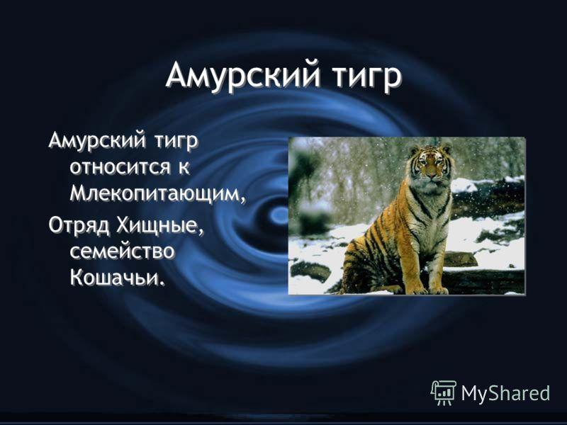 Амурский тигр Амурский тигр относится к Млекопитающим, Отряд Хищные, семейство Кошачьи. Амурский тигр относится к Млекопитающим, Отряд Хищные, семейство Кошачьи.