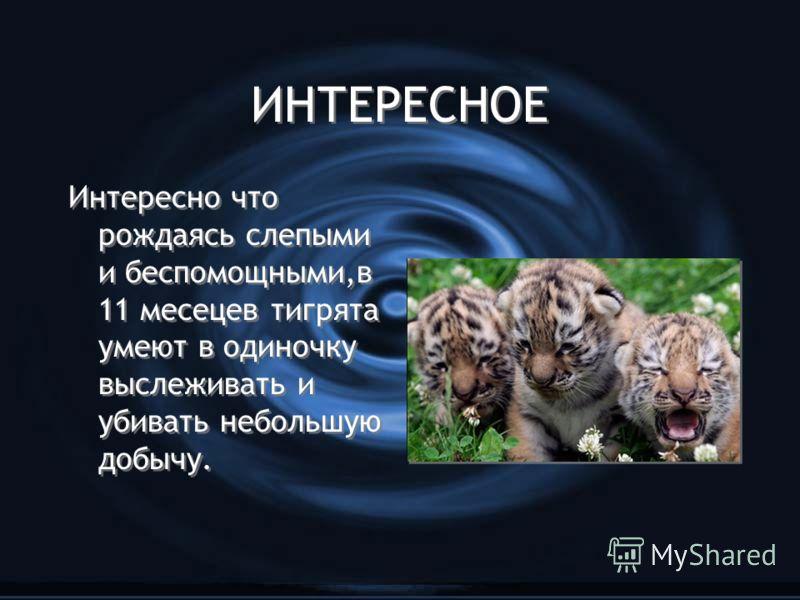 ИНТЕРЕСНОЕ Интересно что рождаясь слепыми и беспомощными,в 11 месецев тигрята умеют в одиночку выслеживать и убивать небольшую добычу.