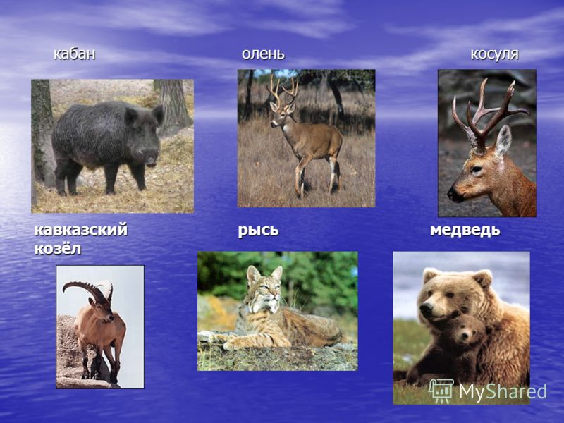 кабан олень косуля кабан олень косуля кавказский рысь медведь козёл