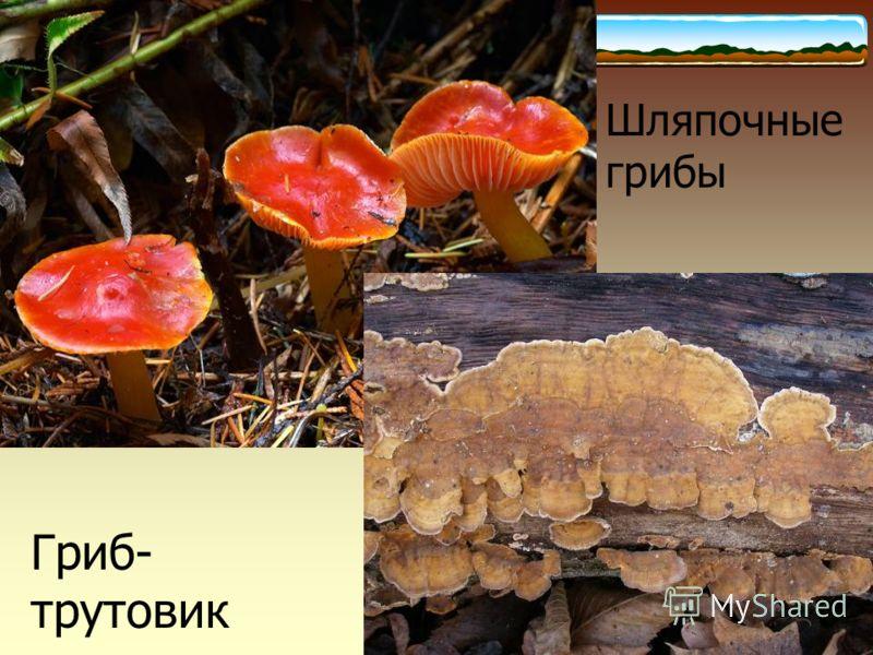 Шляпочные грибы Гриб- трутовик