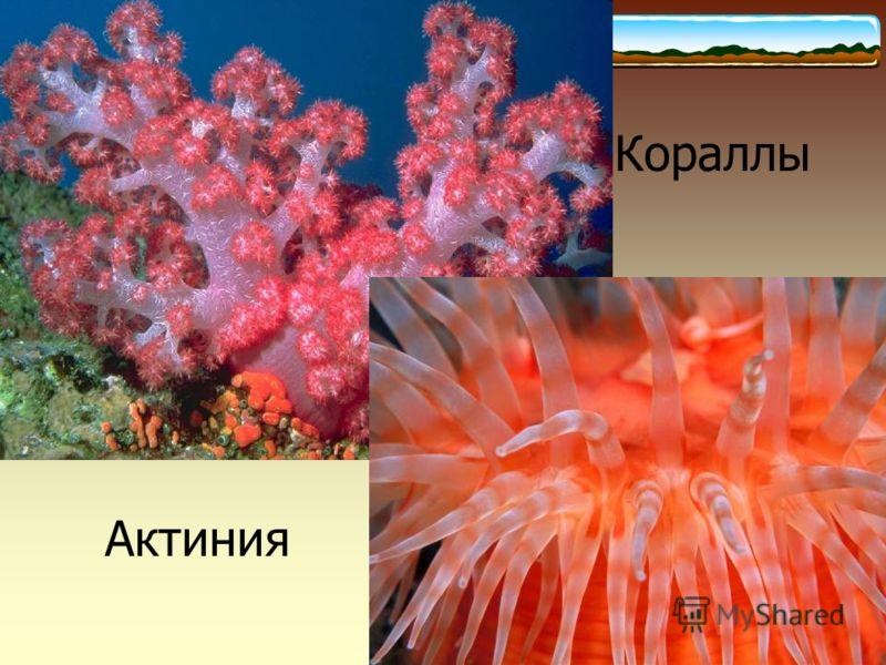 Кораллы Актиния