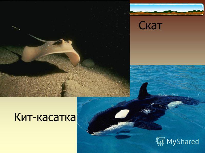 Скат Кит-касатка