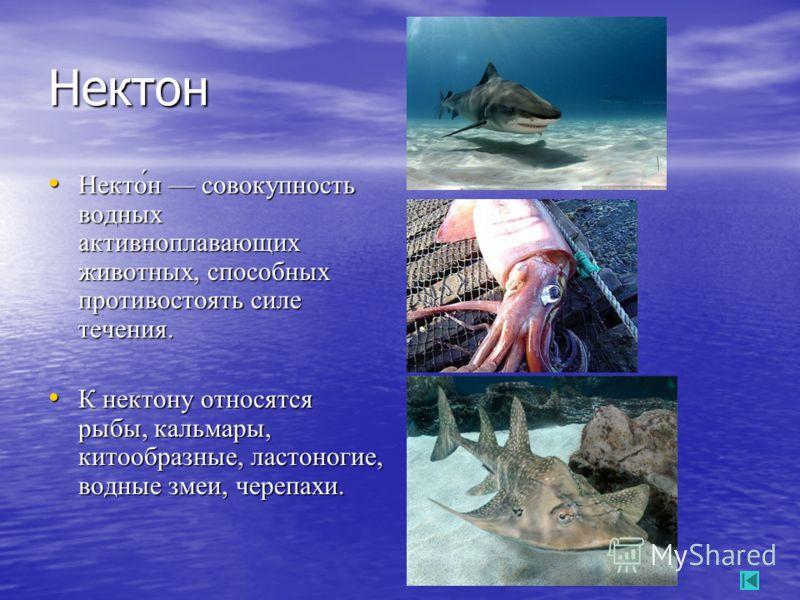 Нектон Некто́н совокупность водных активноплавающих животных, способных противостоять силе течения. Некто́н совокупность водных активноплавающих животных, способных противостоять силе течения. К нектону относятся рыбы, кальмары, китообразные, ластоно