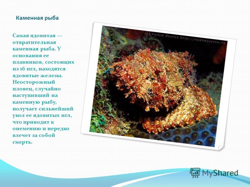 Каменная рыба Самая ядовитая отвратительная каменная рыба. У основания ее плавников, состоящих из 16 игл, находятся ядовитые железы. Неосторожный пловец, случайно наступивший на каменную рыбу, получает сильнейший укол ее ядовитых игл, что приводит к