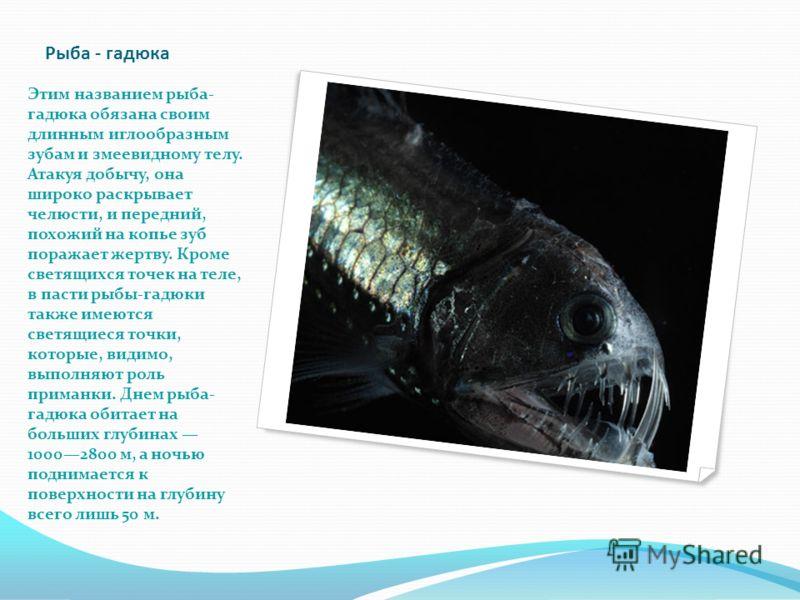 Рыба - гадюка Этим названием рыба- гадюка обязана своим длинным иглообразным зубам и змеевидному телу. Атакуя добычу, она широко раскрывает челюсти, и передний, похожий на копье зуб поражает жертву. Кроме светящихся точек на теле, в пасти рыбы-гадюки