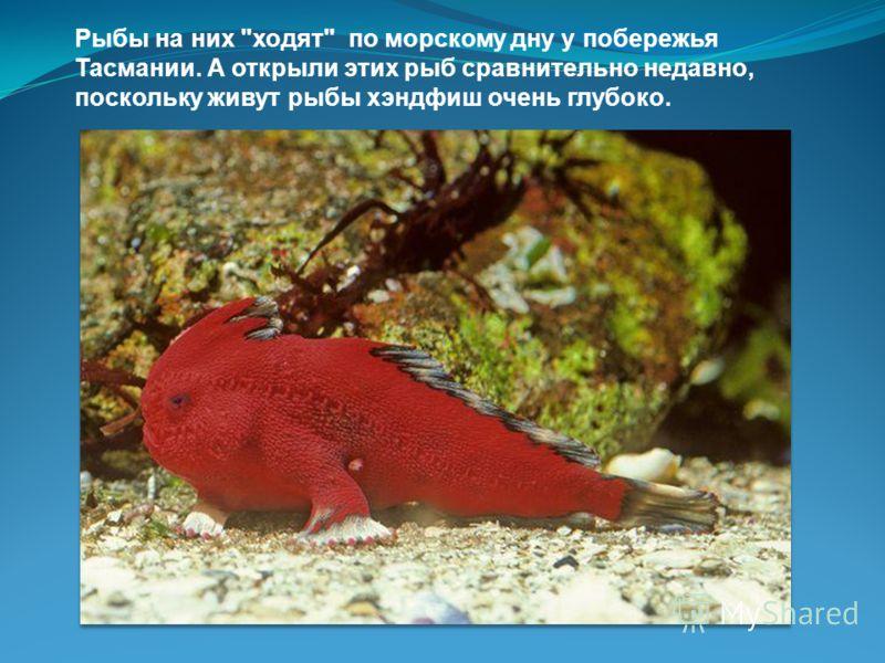 3. У рыб Handfish (Хэндфиш) вместо плавников имеются конечности, очень напоминающие руки, но пользуются ими рыбы совсем не как руками, а как ногами.